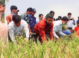 সুনামগঞ্জে বোরো ধান কাটার উদ্বোধন