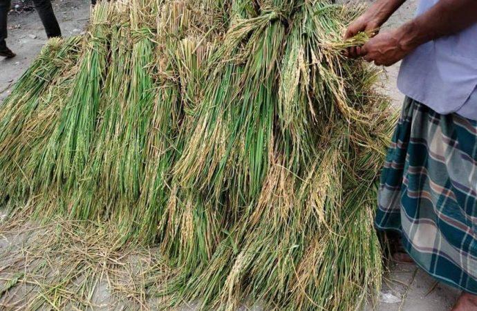 ভূরুঙ্গামারীতে ব্রি-২৮ ধান ব্লাস্ট রোগে আক্রান্ত, কৃষকের ব্যাপক ক্ষতি