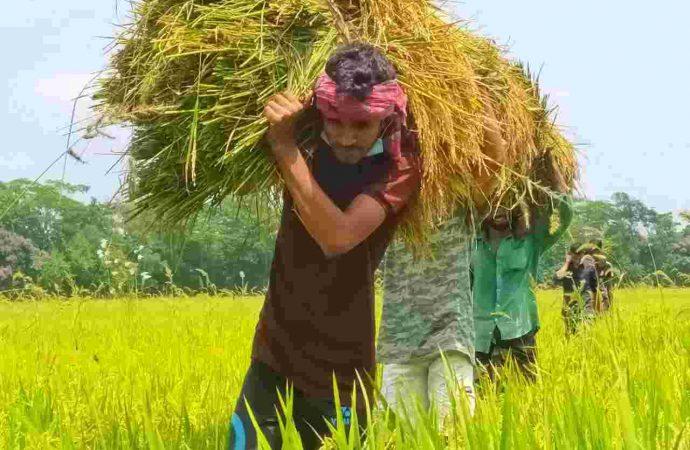 ঝালকাঠিতে কৃষকের ধান কেটে দিলেন ছাত্রলীগ নেতা অহিদুজ্জাম লুসান